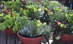 Salat im Topf für Balkon und Terrasse -  Pflücksalate eignen sich hervorragend für die Aussaat in Gefäßen und im Beet. Sie sind wüchsig und pflegeleicht und bescheren immer eine frische und vitaminreiche Beilage. Ab Anfang März kann ausgesät werden.