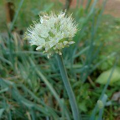 Flor de cebolinha