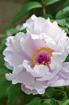 Pastel Pink Peony - http://livedan330.com/2015/06/11/peonies-are-in-season/
