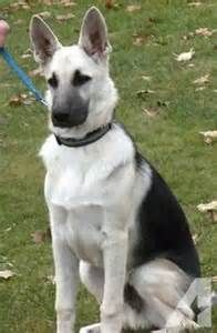 black and silver German shepherd dog - - Yahoo Image Search Results