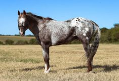 Appaloosa, Crosses, Animals And Pets, Pets, Appaloosa Horses, Counted Cross Stitches