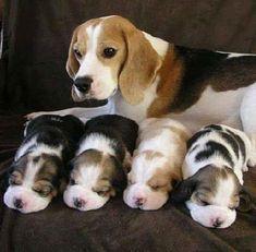 Little beagle puppies!!! #Beagle