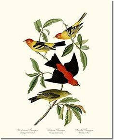 Bird Print - Scarlet Tanager (James Audubon) Vintage Art. Wildbird art from James Audubon, the American ornithologist and naturalist, published The Birds of America in the mid 1800s. This print is a copy, it is a painstakingly restored original from a 19th century illustration. It is a Giclee print, printed on a high quality inkjet printer. All our prints are printed on the same light cream high quality, heavy weight, acid free paper using archival pigment-based inks. We've invested a…