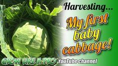 Harvesting My First Baby Cabbage ! Best Red Wine, News Channels, Propagation, First Baby, Harvest, Cabbage, Gardening, Youtube, Garten