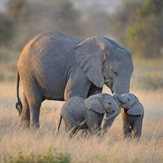 There's no reason why elephants should be dying every year to feed the unnecessary, bloody ivory trade. Elephants deserve to live in safety and peace in the wild. Elephant Camp, Drunk Elephant, Mama Elephant, Elephant Love, Baby Animals, Cute Animals, Wild Animals, Ivory Trade, Vegan Animals