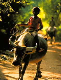 Water Buffalo-- I remember seeing so many of this while riding the bus to school <3