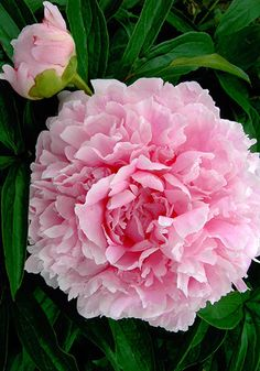 Peony 'Hermione' circa 1932 - One of the most fragrant peonies of all, this hard-to-find beauty by the great Hans Sass of Nebraska is a lovely, soft, apple-blossom pink. Peony Flower, My Flower, Flower Power, Cactus Flower, Pink Flowers, Beautiful Flowers, Exotic Flowers, Yellow Roses, Pink Roses
