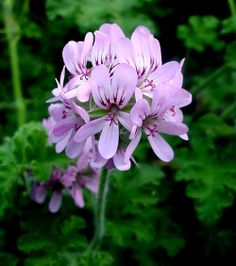 The Home of the China Bayles Mysteries Celebrating the Mysteries, Magic, & Myths of Herbs Australian Flowers, Australian Plants, Scented Geranium, Geraniums, Garden Plants, Planting Flowers, Grass, Flora, Herbs