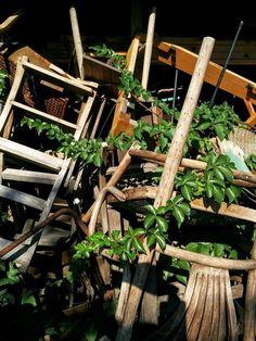 Accogliamo l'entrata di Settembre con un'opera d'arte a cielo aperto: la natura, durante la pausa estiva, ha coccolato alcuni materiali di recupero del giardino nel nostro laboratorio Q21. Buon inizio di Settembre! #settembre #natura #recupero #sedia #legnodirecupero #giardino #eco #design #laboratorio #edera #rampicanti