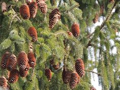 norway spruce by dmguthery