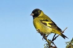 Photos of Siskins / Cabecitanegras - Fringillidae - Argentina Siskin, Rhodesian Ridgeback, Lugano, Wild Birds, Flora, World, Nature, Animals, Entertainment