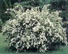 BUY DIRECT FROM THE GROWER! Available in two sizes: 5 liner or quart-size. An outstanding white Spiraea! It has bright green foliage and compact growth to a maximum of 4ft.x4ft., usually less. An incredible display of white flowers covers the entire plant in the spring! A great