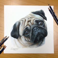 Pug Color Pencil Drawing by AtomiccircuS.deviantart.com on @deviantART