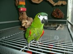 Kizmet is an adoptable Macaw Parrot in Gibsonton, FL. Kizmet is a four year old Hahn's Macaw. As you can see, when he first came to rescue, he had stripped feather shafts (he didn't pluck, but would a...