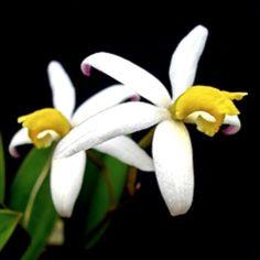 Laelia fournieri orchid species - Rare Rupicolous Miniature Cattleya