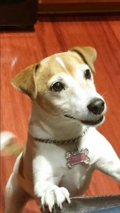 Who couldn't love a face like this cute Jack Russell Terrier! Rat Terriers, English Bull Terriers, Terrier Mix, Smooth Fox Terriers, White Terrier, Jack Russell Mix, Jack Russell Puppies, Cute Puppies, Cute Dogs