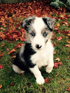 Blue Merle Border Collie Puppy called Murphy