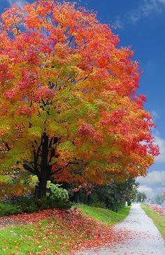 Maple beauty ...