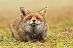 Scottish fox, meditating