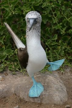 blue footed booby bird. Boobies hunt fish by diving from a height into the sea and pursuing their prey underwater. Facial air sacs under their skin cushion the impact with the water. Boobies are colonial breeders on islands and coasts. They normally lay one or more chalky-blue eggs on the ground or sometimes in a tree nest.