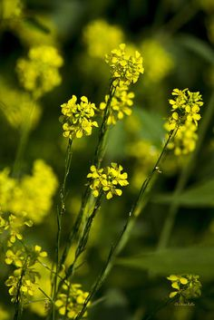 Common Wintercress Flowers Art Print by Christina Rollo.  All prints are professionally printed, packaged, and shipped within 3 - 4 business days. Choose from multiple sizes and hundreds of frame and mat options.