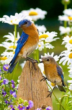 Bluebird pair. There are 3 species Eastern, Western and Mountain bluebirds. Bluebirds are voracious insect consumers, quickly ridding a garden of insect pests.