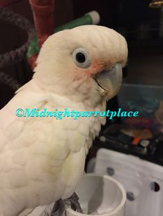 Griffin Cockatoo