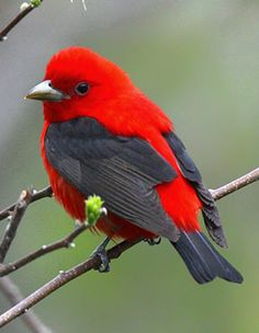 Haven\'t seen a scarlet tanager around here since I was a kid. Miss them!