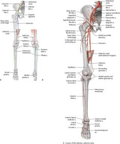 Lower leg: anterior and posterior view of tibia and