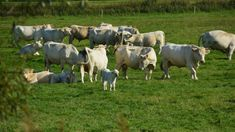 Proposals shall consider mapping, genetic characterization and monitoring of local breeds, well adapted to the Mediterranean environment, tolerant to heat stress and diseases resistant. Heat Stress, Farming System, Tobias, Livestock, Photo Illustration, Genetics, Cattle, Conservation, Creative
