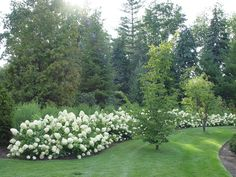 """Limelight hydrangea, or hydrangea paniculata """"Limelight"""" is hardy to zone 4. The flowers are cone shaped. The stems are incredibly strong, and upright."""