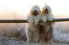 sheep dog besties