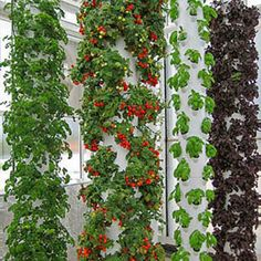 For the past 9 years, Future Growing® LLC has been the world leader in vertical aeroponic food farms utilizing patented Tower Garden® techno...