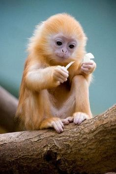 Baby Silver Langur monkeys are born orange in color, then turn to a dark gray color as they age.