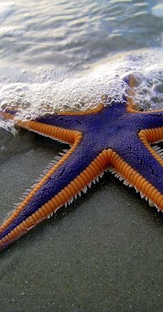 Purple and Orange Starfish on the Beach