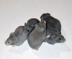 Brookside Hamstery Clockwise from left: Dilute Sable ♀, Blue ♀, Blue ♀, Blue ♀, Yellow-Blue (cream carrier) Umbrous ♀ Pet Rodents, Hamsters, Blue Cream, Blue Yellow, Hamster Life, Syrian Hamster, Gerbil, Guinea Pigs, Mice