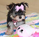 Morkie extreme cuteness!!! Love