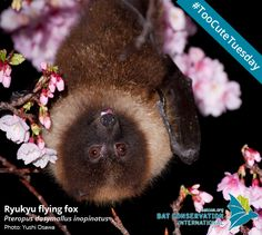 Did you know there are flying foxes in Japan? The Ryukyu flying fox is a forest species with a diet consisting mainly of figs. This species is also found in Taiwan and the Philippines. In Japan they roost throughout the islands, and have also been seen in urban areas, where people have planted the same fruiting trees that this bat prefers as a food source.