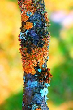 .Lichens on a tree.