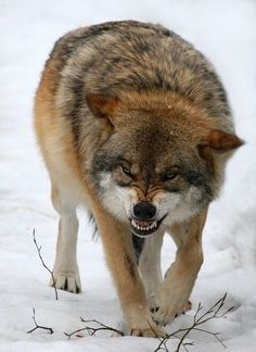 """Eurasian Wolf. You can see Over 2500 more animal pictures on my Facebook """"Animals Are Awesome"""" page. animals wildlife pictures nature fish birds photography cute beautiful"""