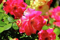 Roses are always such a pleasure! Nature Photos, Photo Art, Roses, Nice, Flowers, Plants, Photography, Photograph, Pink