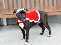 SAFE❤️❤️ 10/10/16 BY POUND HOUNDS RES-Q❤️ TAKE GOOD CARE OF HER PLEASE ❤️THANK YOU❤️ SUPER URGENT Brooklyn Center MAJESTY – A1090333 FEMALE, BLACK / WHITE, AM PIT BULL TER MIX, 9 yrs OWNER SUR – EVALUATE, HOLD FOR DOH-V Reason PETS CONFL Intake condition UNSPECIFIED Intake Date 09/18/2016, From NY 11204, DueOut Date 09/18/2016, I came in with Group/Litter #K16-074687.