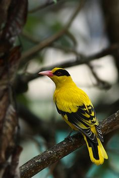 . Black-naped Oriole, been seeing this beauty around our home for the past week. Charming us with mating calls!