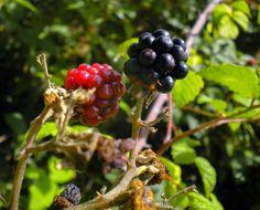 erbe aromatiche officinali: Le More di Rovo: un frutto selvaggio