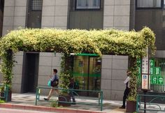 In the Shinjuku district of Tokyo, many bus stops are covered with fragrant Trachelospermum jasminoides. Delightful!