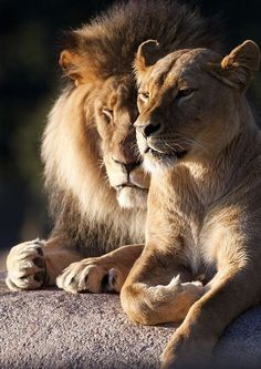 ♔ Lion Love (by MunkPhotography)