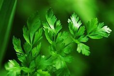 How to harvest parsley so it grows back properly