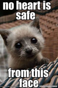 Find images and videos about kittens on We Heart It - the app to get lost in what you love. Funny Animal Memes, Funny Animal Pictures, Cute Funny Animals, Cat Memes, Cute Cats, Funny Cats, It's Funny, Animal Pics, Memes Humor