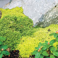 """Settle the stones To keep boulders from looking """"plopped in place,"""" plant a carpet of golden green Scotch moss and deep green Irish moss aro..."""