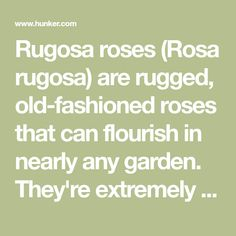 Rugosa roses (Rosa rugosa) are rugged, old-fashioned roses that can flourish in nearly any garden. They're extremely resistant to cold -- many varieties are hardy in U.S. Department of Agriculture hardiness zones 2 to 9 -- and they're easily propagated from cuttings, making them a reliable...